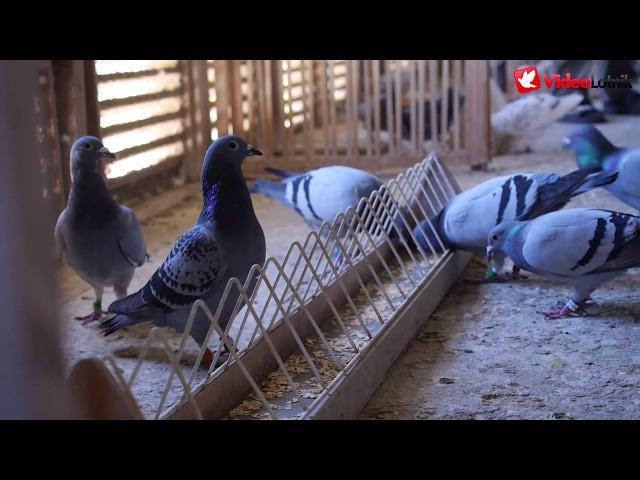 Benon Mahlik - PZHGP 063 Kościerzyna - Udany przylot gołębi - Na piersze 8 jest 5 typowanych