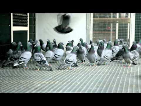 Eijerkamp Duiven (pigeons) film test