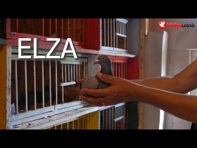 ELZA - long distance pigeon Military Rogala