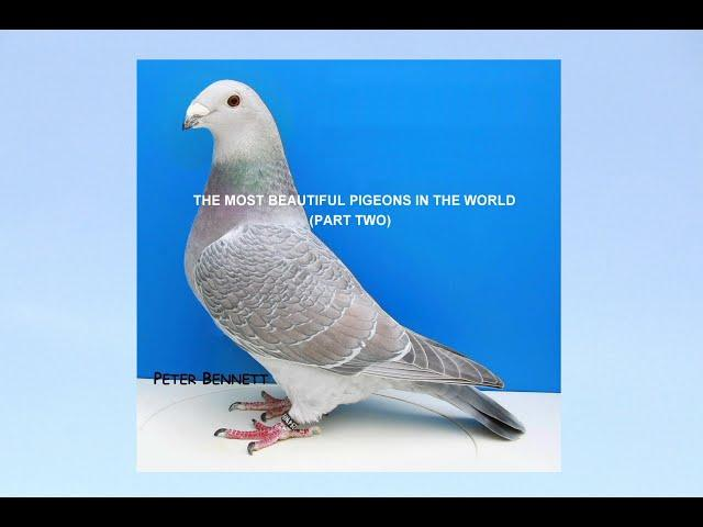 Video 403: The Most Beautiful Pigeons In The World (Part 2): Show Racers