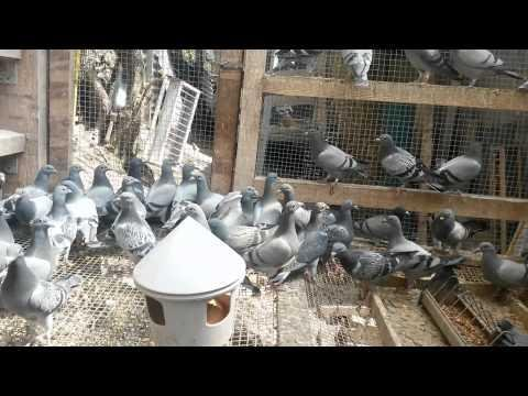We shipping today 120 pigeons to KUWAIT CITY from Kuwait we ship to all countries in middle east
