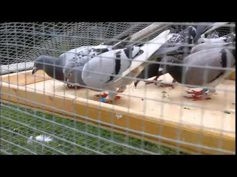 2015 Homers all day (racing pigeons)