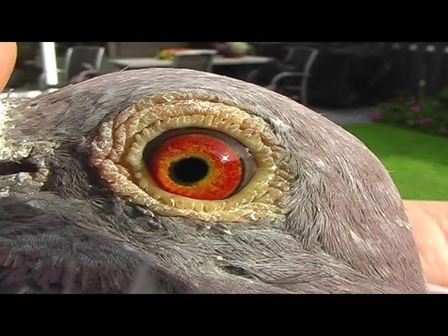 VERWEIJ DE HAAN ENG  2017 Extreme longdistance pigeon Holland.