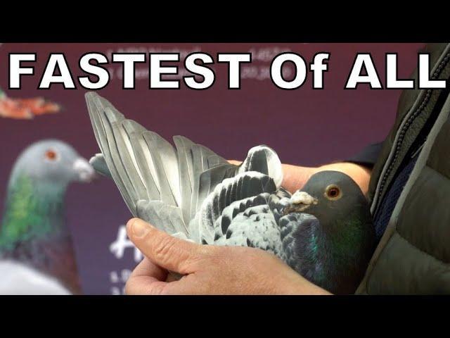 Vlog #86 FASTEST Against 4332 Pigeons Presented #HansandEvertJanEijerkamp