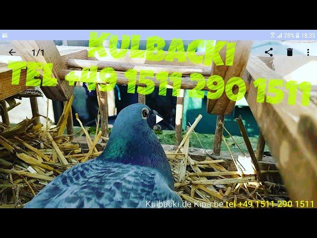 HIGH QUALITY PIGEONS tel +49 1511 290 1511