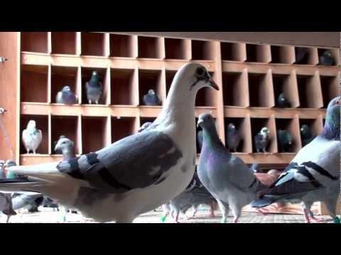 Arona-TENERIFE 2012 - PREPARE FOR GLORY! 18-10-2011 Pigeons condition!