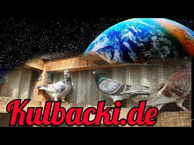 Syn Ramsesa | inbred Stampara samica  | Racing Pigeons | Kulbacki racing pigeons Channel