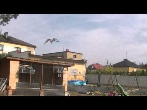 Loty gołebi młodych 2015 2 lot konkursowy, Raicing Pigeons 2015, young birds