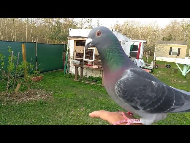 Racing pigeon play with me