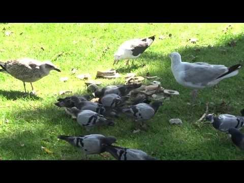 Meeuwen en duiven voeren langs de Erasmusgracht in Amsterdam