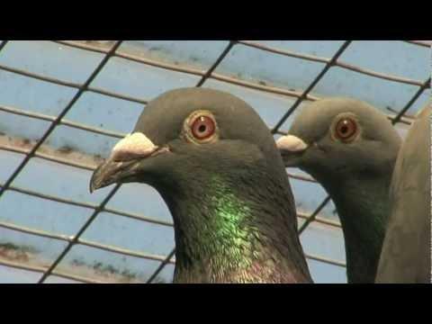 Trailer Pigeon Pixels 1: Het jonge-duivenspel