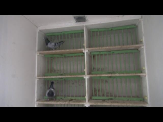 Ryszard kupuje gołębie u mistrza z Czech.
