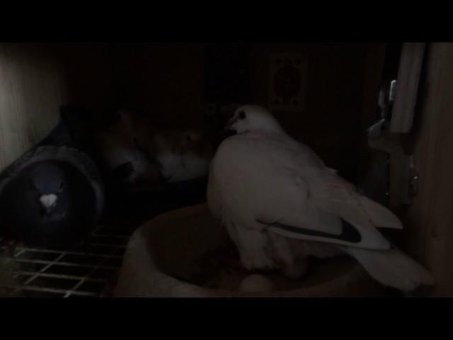 Weiße brieftauben