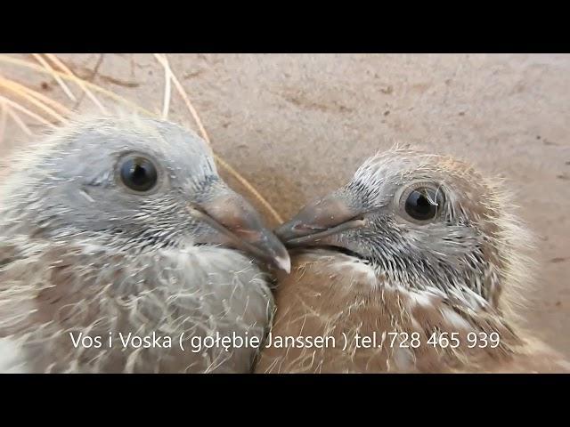 Lis i Lisica  gołębie Janssen  tel  728 465 939