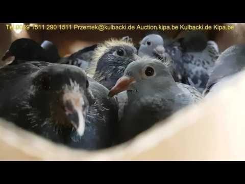 Wysyłka gołębi rasy Kulbacki shipping of racing pigeons International direct mistrz Polski