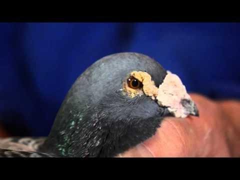 HANS HIRN - prezentacja gołębi. WERSJA NIEMIECKA