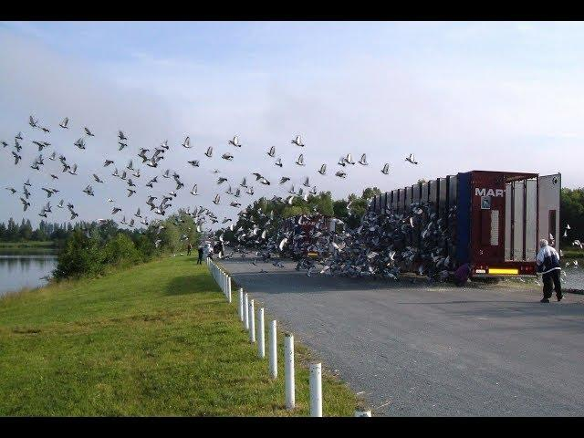 Video 400: Racing Pigeon Liberations in France