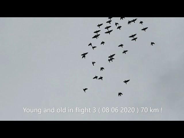 3 Lot gołębi młodych  70 km na Słoneczny Gołębnik 08 06 2020