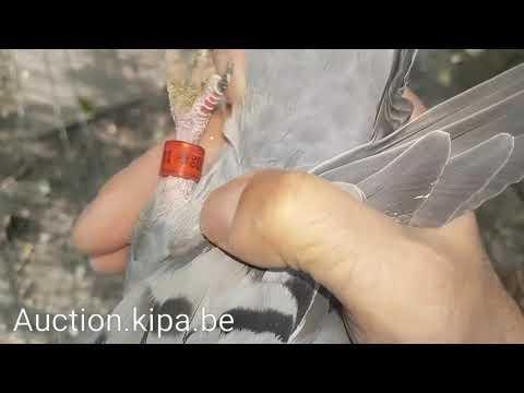 911 samica Janssena Princes czysta krew najlepszego hodowcy na swiecie www.auction.kipa.be