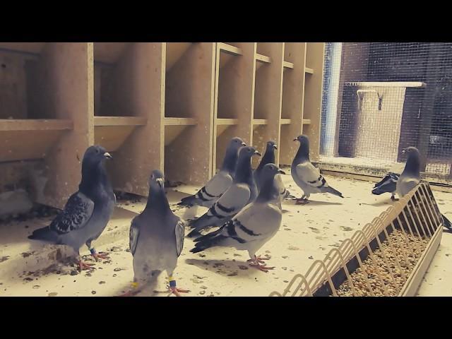 Prezentacja na 3 lot konk gołębi młodych z 201 km