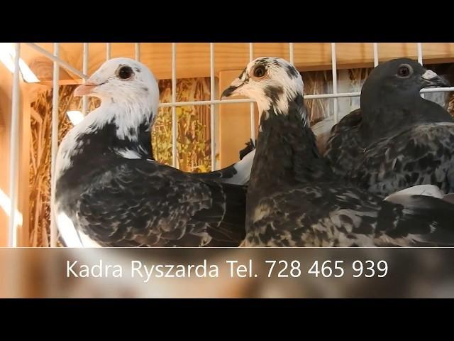 Szybkie gołębie - porady na jesień tel. 728 465 939