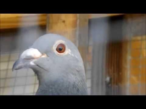Breeding Loft Update - Baby Racing Pigeons and breeders