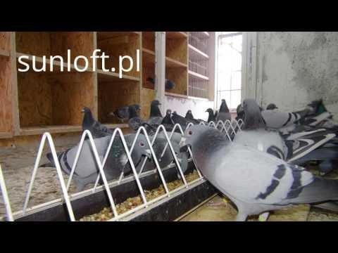 Łączenie gołębi w pary na lot 850 km !