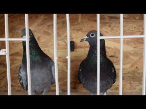 100% Pure Stickelbaut Pair of Pigeons