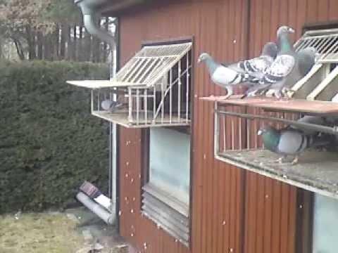 Brieftauben German racing pigeons loft Channel Tauben Diary Der erste Freiflug 06.04.2013