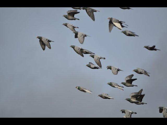 Szybkie gołębie 3 parki za 3 tys. tel 728 465 939