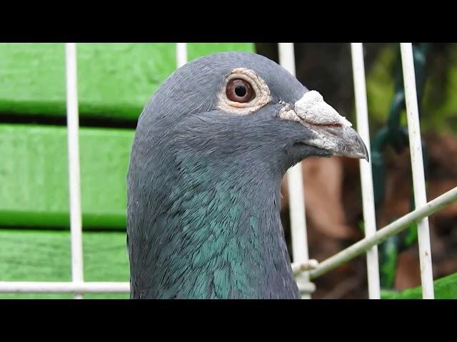 Szybkie gołębie Żniwiarze część 2 18 11 2020