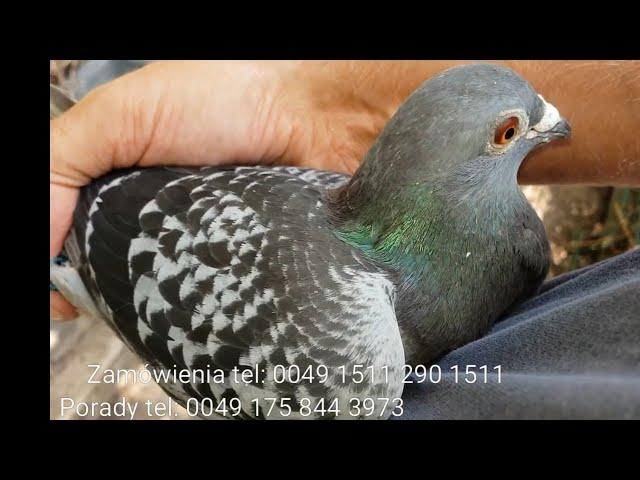 Samica wruciła z Polski my hen is back from Poland owner contact me tel 0049 1511 290 1511