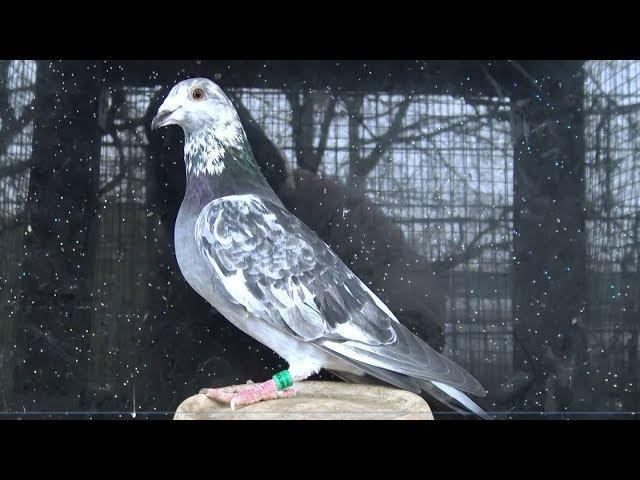 DV-039-19-2864 Champion |  Auctions.KIPA.be | best of Germany | Racing Pigeons | Aukcja.KIPA.be