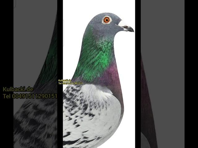 HOCHFORMAT meine Tauben auf der weltgrößten Auktion in KUWAIT tel +4915112901511