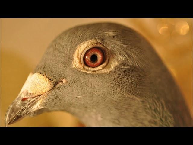 Piękne i tanie gołębie pocztowe , spraw sobie prezent tel. 728 465 939
