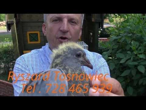 """Sprzedaż """"Gołębie Wyżymacze i Vervoorty Tel. 728 465 939 """""""