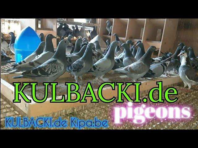młode gołębie 2020r - young pigeons- Jungtauben exklusiv live - best of Germany direct from Kulbacki