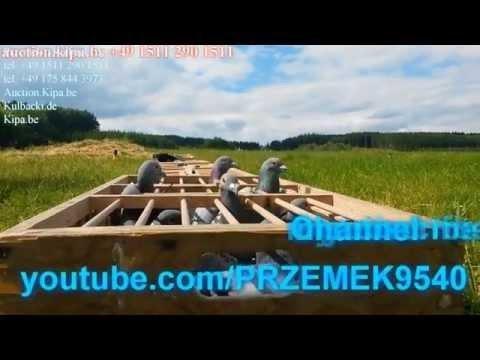 UWAGA OSZUSTY INTERNETOWY ORIGINAL PIGEONS FROM KULBACKI ONLY BY KULBACKI TEL: +49 1511 290 1511