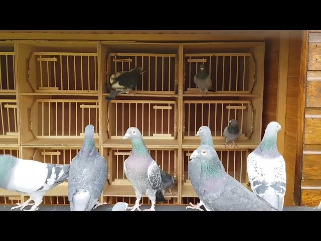 Racing pigeon breeders ready for 2018