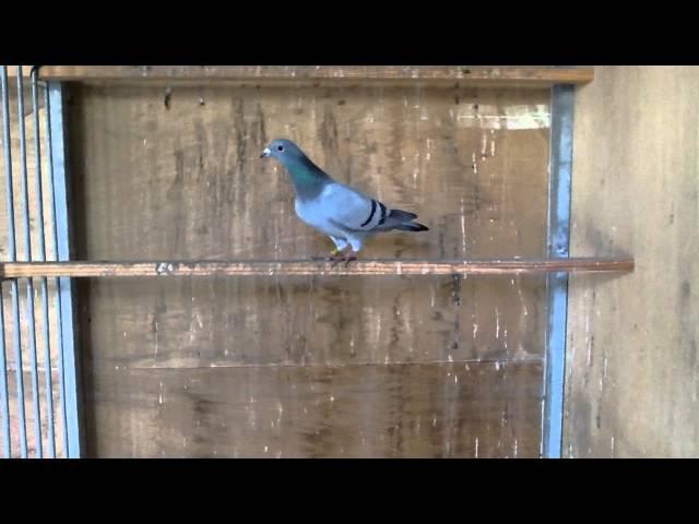 Knox 12 032 Blue Hen 100% Ad Schaerlaeckens