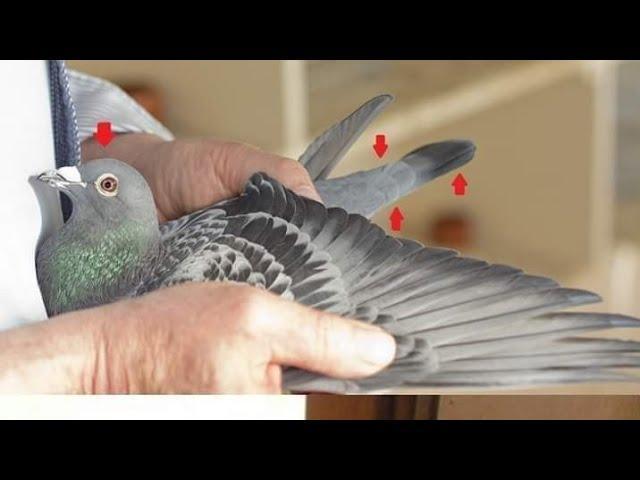 Vuelo de moa,llegada de las palomas de Juan Miguel Gomez Villa Clara Cuba